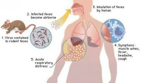 What is the hantavirus?