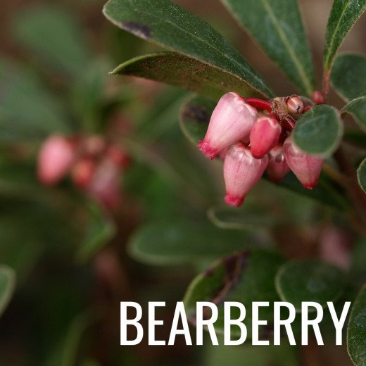 Alpha arbutin which is the preferred form of arbutin is found in barberry leaves.